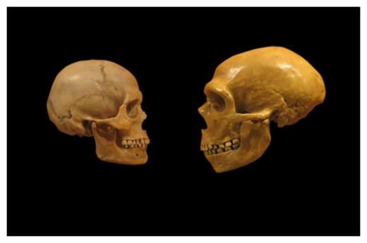 A modern human and Neanderthal skull