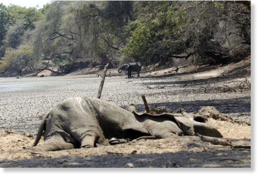 Severe drought in Zimbabwe has killed 105 elephants in 2 months