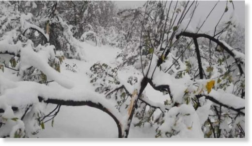Snowfall in Kashmir damages apple orchards