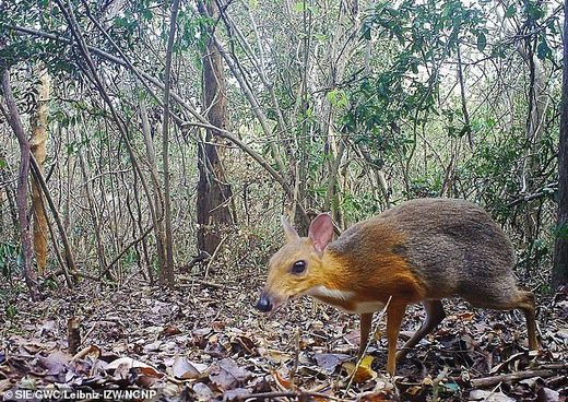mouse deer Chevrotin