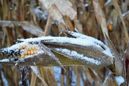Frosted corn crop losses