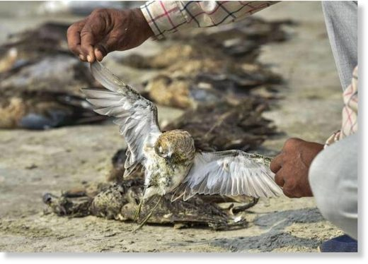 A worker picks up a dead bird as others lying