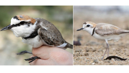 plover bird different genes look identical