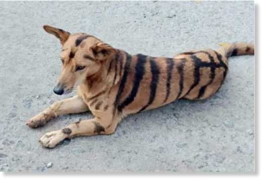 Indian farmer paints dog like tiger to scare monkeys