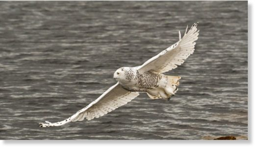 A snowy owl flies over Algoma.