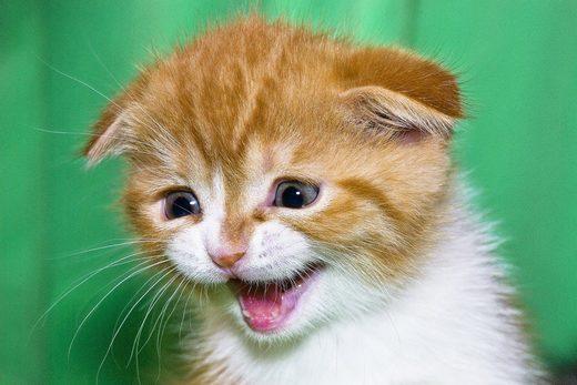 cat wail