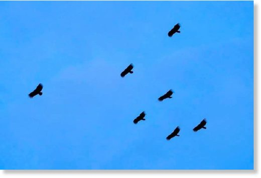 A flock of vultures over Pinnacle@Duxton.