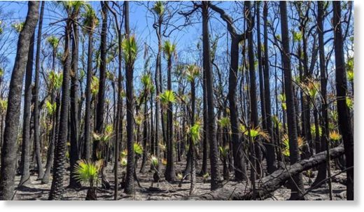 A burst of green in the charred bush. Photo by Illuka resident Nikayla Rae Austin, on the NSW north coast.