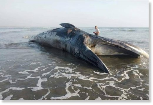 The dead whale found off Myanmar (Burma) on January 15th