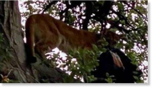 A mountain lion attacked a 3-year-old boy and then grabbed his father's backpack and climbed into a tree in Whiting Ranch Wilderness Park in Trabuco Canyon, Calif., on Jan. 20, 2020.