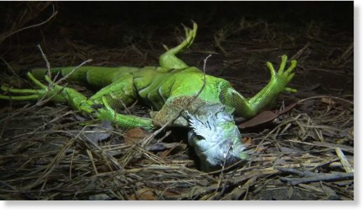 Frozen iguanas falling from trees in South Florida