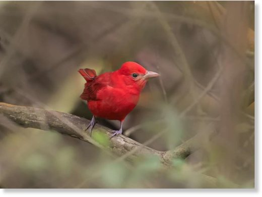 A bright red summer tanager made San Francisco's Glen Park Canyon home in January 2019.