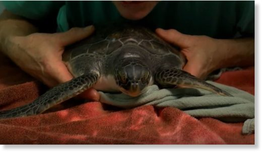 Cold snap sends over 100 sea turtles to rehab center