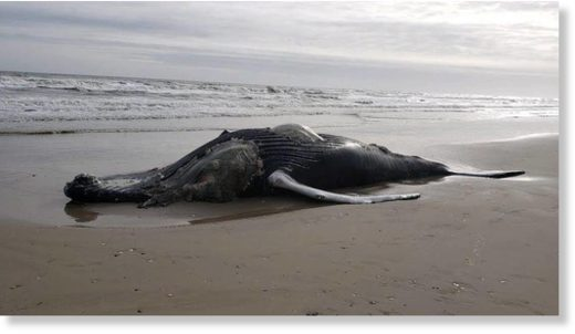A dead humpback whale was found on an Outer Banks beach on Thursday, rescuers say.