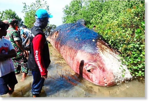 Kupang Water Conservation Area Agency personnel and Tasilo village residents working together to remove a sperm whale carcass from mangroves on the Tasilo Beach shoreline