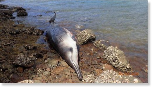 Three Gray's beaked whales beached and died on Great Barrier Island despite rescue efforts.
