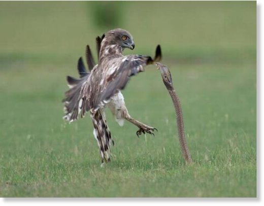 a fiery battle between a short-toed eagle and a spectacled cobra