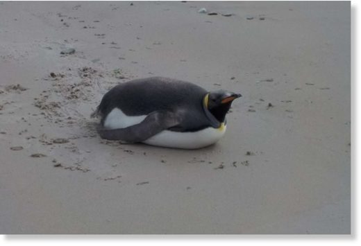 The king penguin spotted at Port Davey