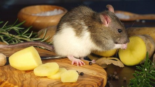 Rat eating potatoe