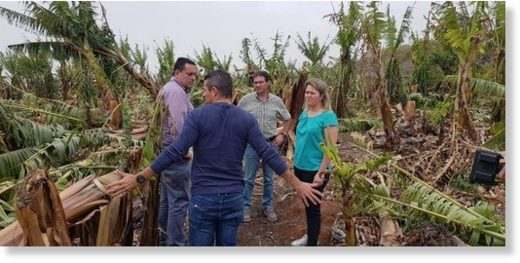 Banana, avocado and potato crops in the Canary Islands hit by wind