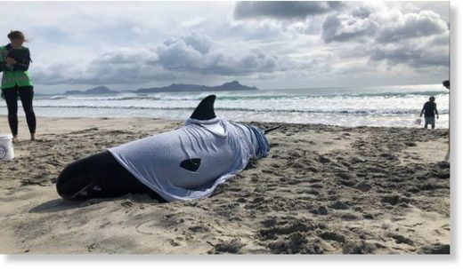 The two whales still stranded were euthanised around 11am on Tuesday