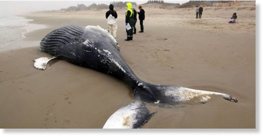 Humpback whale was washed ashore in Nags Head, NC.