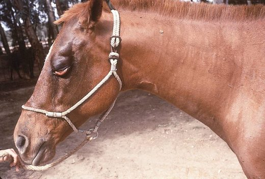 African Horse Sickness