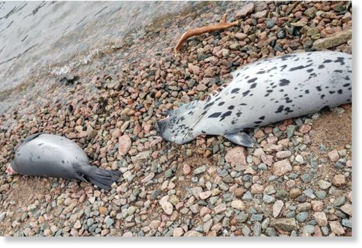 Some of the more than 20 dead seals discovered
