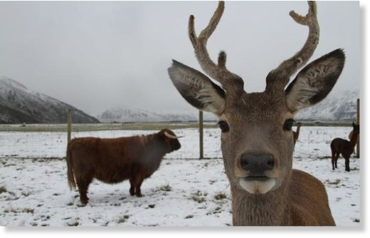 Deer and a highland cow in snow at Real Country farm experience.