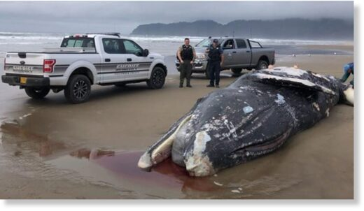A gray whale washed ashore on the beach of the Sandlake Recreation Area north of Pacific City on April 18, 2020.