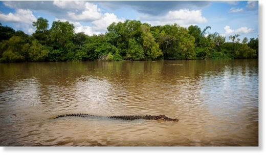 A large saltwater crocodile. File photo.