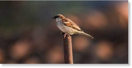 Male and female sparrows can be easily