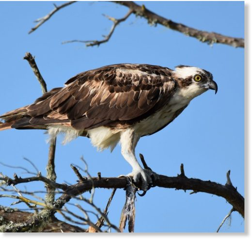 Ospreys, like the one pictured here, are among the types of birds of prey in Florida that have been found to be accumulating microplastics in their stomachs.