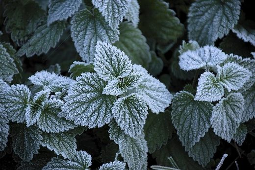 mint leaves frost