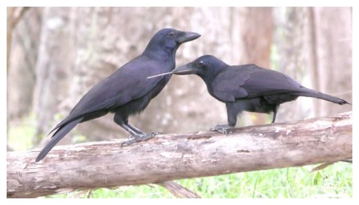 New Caledonian crows