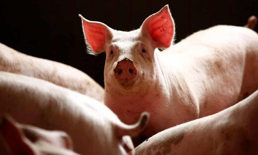 African swine fever has decimated the livelihoods of many farmers