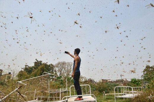 A man takes pictures of a swarm of locusts in Allahabad, India