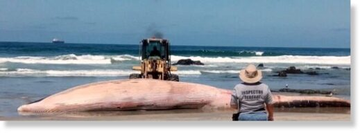 An 18-meter long Fin Whale found washed up on Baja California beach