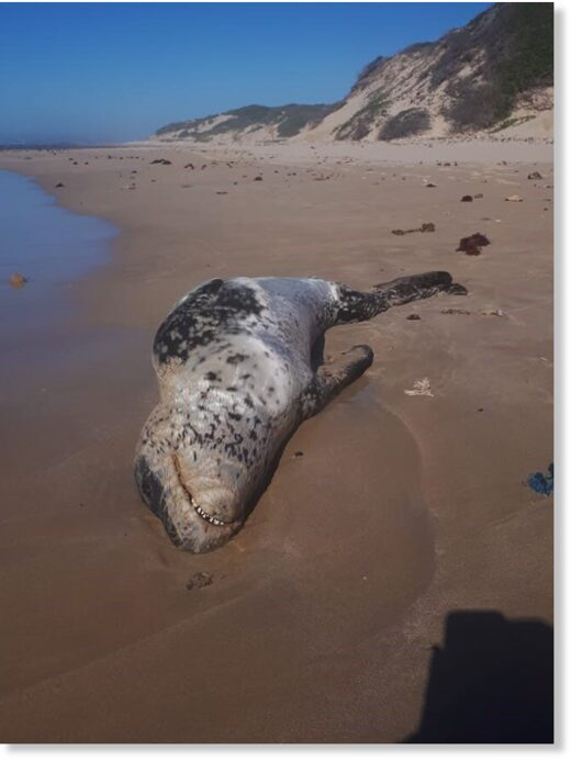 LONG WAY FROM HOME: The carcass of a young leopard seal was found on the beach at Cape Recife in Port Elizabeth recently
