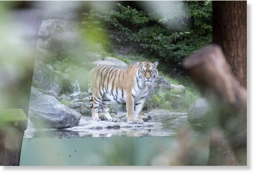 Another Siberian tiger,