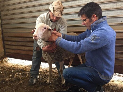 Professor Martin Wikelski attaches accelerometers to the collars of farm animals