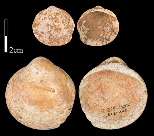 Origins of string revealed by ancient seashells