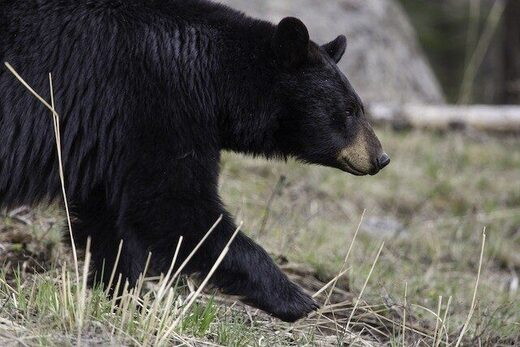 Bear suspected in death of 67-year-old in Red Lake, Ontario