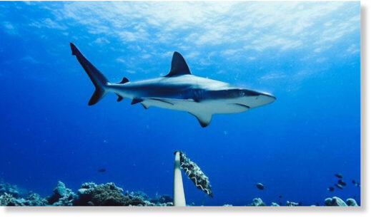 candid cams reveal shark populations in decline