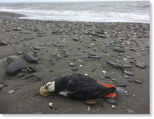 A dead Puffin found along one of the beaches of Nome in June, 2020.