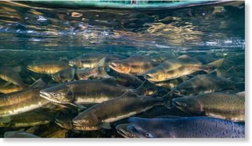 Like many migratory fish, chinook salmon