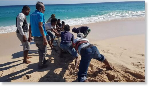 Locals rushed to push an eleventh member of the stricken pod across the baking sands and back into the ocean Handout Indonesian nature conservation agency