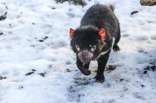 Tasmanian devil in snow