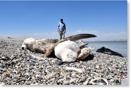 Dead seagulls on the shore of Lake Van