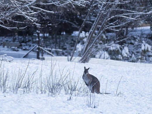 A wallaby is seen in the snow on August 23, 2020 in Adaminaby, Australia